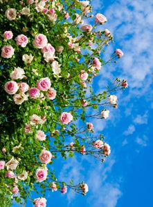 Introduction to Growing Roses