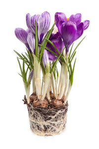 Gardening for Newbies - Growing Bulbs Indoors