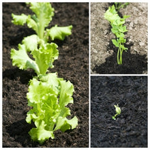 Load image into Gallery viewer, Growing Salads in Your Garden