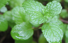 Load image into Gallery viewer, Bo He Nao Menthol Mentha Canadaensis L. American Wild Mint - 999 TCM