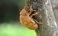 Load image into Gallery viewer, Chan Tui Cicada Slough Periostracum Cicadae - 999 TCM