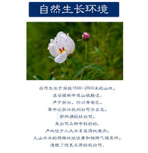 Load image into Gallery viewer, Chao Bai Shao 炒白芍 White Paeony Root Radix Paeoniae Alba