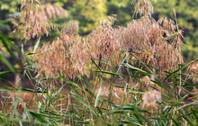 Load image into Gallery viewer, Lu Gen 芦根 Common Reed Rhizome Rhizoma Phragmitis Phragmites Communis Trin.