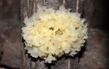 Load image into Gallery viewer, Yin Er White Fungus Tremella Fuciformis Berk. - 999 TCM