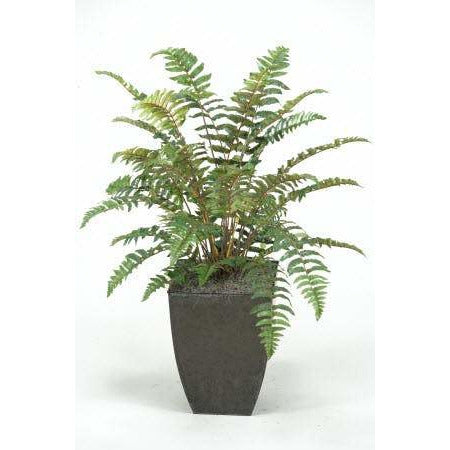 Leather Fern Plant