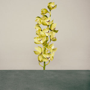 Cymbidium Single Stem Orchid