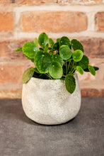 Load image into Gallery viewer, Pilea Houseplant