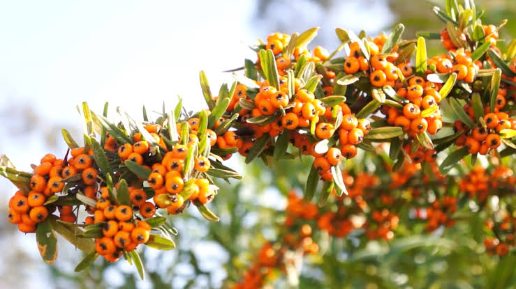Sea Buckthorn Berry Oil