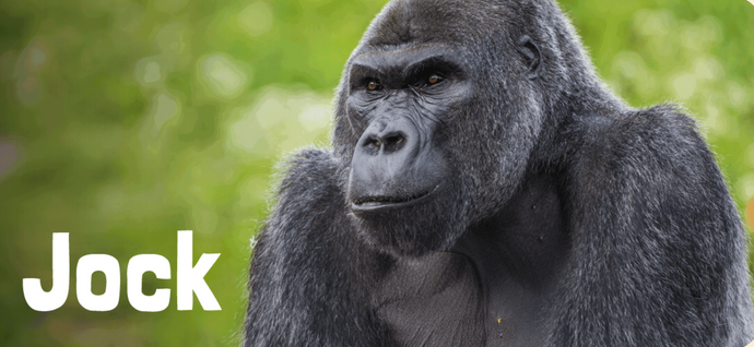 Interesting fact – Gorillas like tea too!