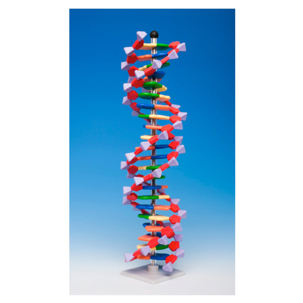 22 layer DNA model