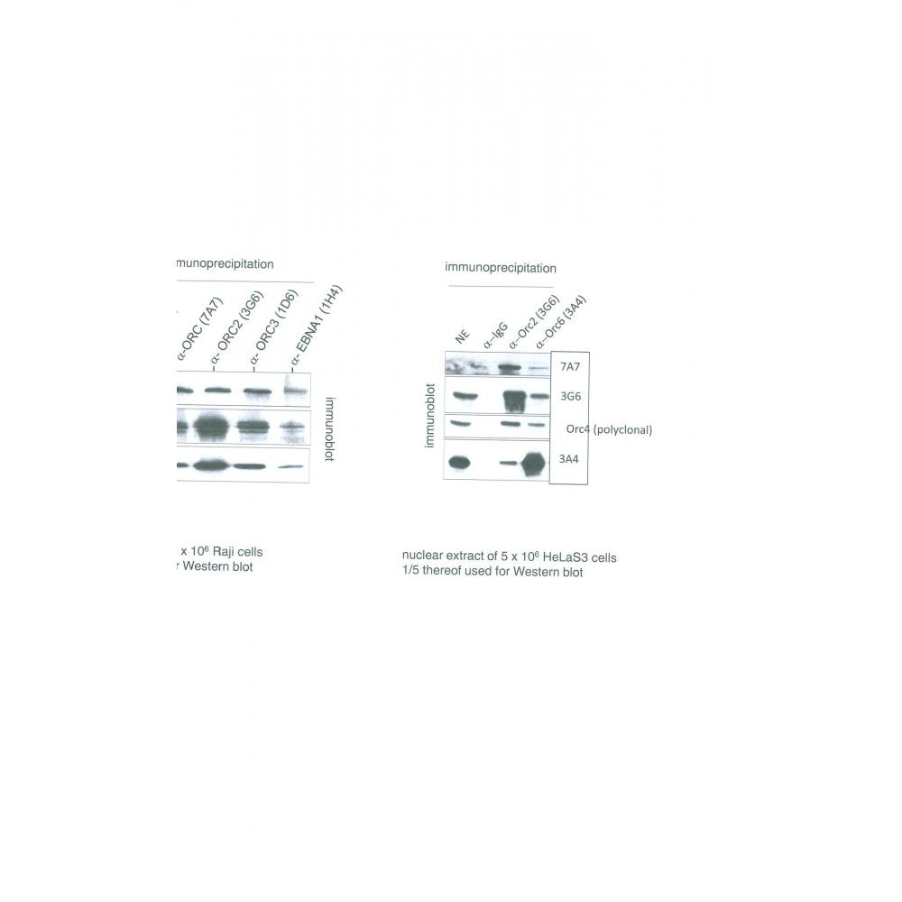 Immunoprecipitation using ORC6L Antibody (IQ306) on Raji and HelaS3 cells