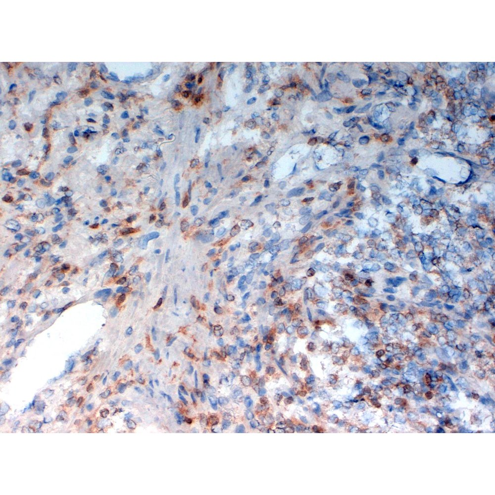 Immunohistochemistry (frozen sections) - Anti-Human CD33 antibody [WM53] normal Human colon tissue