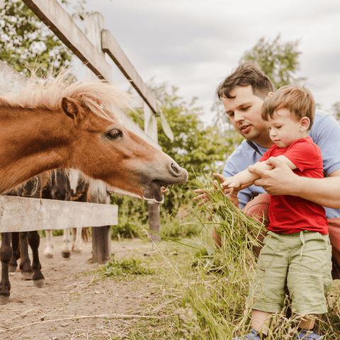 Dad and son feeding a horse