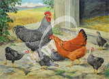 Barred Rock New Hampshire Cross - 1943 Heritage Poultry Breed Canvas Print