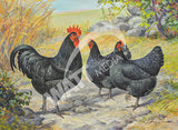 Black Jersey Giants - 1948 Heritage Poultry Painting Canvas Print