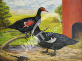 Muscovy Ducks Heritage Poultry Painting Canvas Print