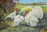 White Holland Turkeys Heritage Poultry Painting Canvas Print