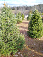 Load image into Gallery viewer, Real Christmas Tree (6-7' Fir)