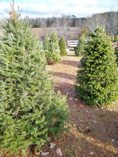 Real Christmas Tree (6-7' Fir)
