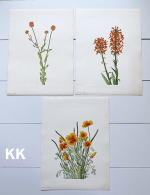1925 Vintage Botanical Print Sets from the Smithsonian Publication of North American Wild Flowers (ORANGES, SETS OF THREE)