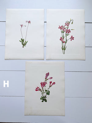 1925 Vintage Botanical Print Sets from the Smithsonian Publication of North American Wild Flowers, (PINKS, SETS OF THREE)