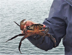 Crab caught when crabbing
