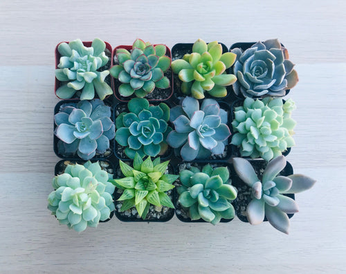 12 Gorgeous 2-Inch Succulents
