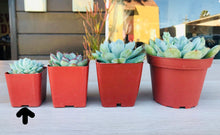 Load image into Gallery viewer, 12 Gorgeous 2-Inch Succulents