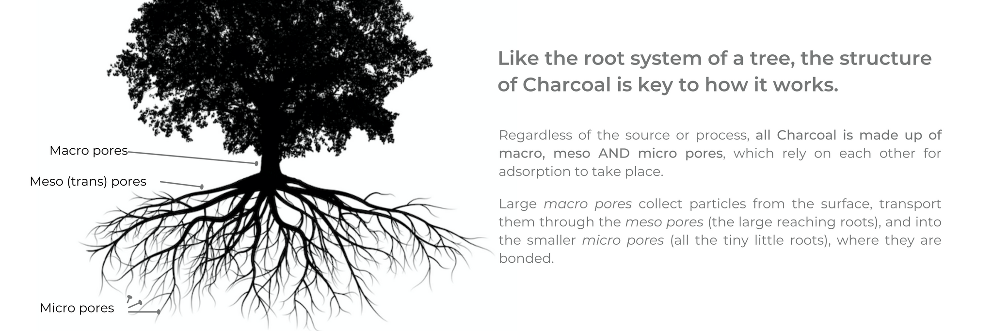 Illustration of a tree with a complex root system. Like the root system of a tree, the structure  of Charcoal is key to how it works. Regardless of the source or process, all Charcoal is made up of macro, meso AND micro pores, which rely on each other for adsorption to take place. Large macro pores collect particles from the surface, transport them through the meso pores (the large reaching roots), and into the smaller micro pores (all the tiny little roots), where they are bonded.