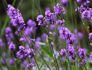 Lavender - A Powerhouse of Healing