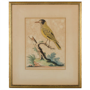 "C.1750 George Edwards ""Yellow Starling"" Engraving"