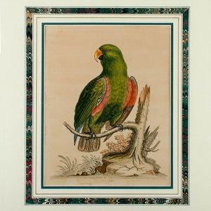 Antique Parrot Engravings by George Edwards - set of 4