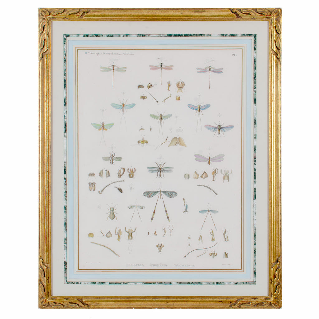 Large Engraving of Winged-Insects by J-Ces Savigny c.1812