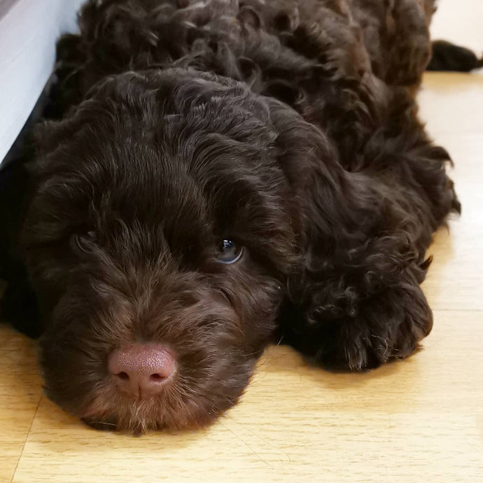 PUPPY YOGA LONDON - MAY 21ST 2021 - AUSTRALIAN LABRADOODLES