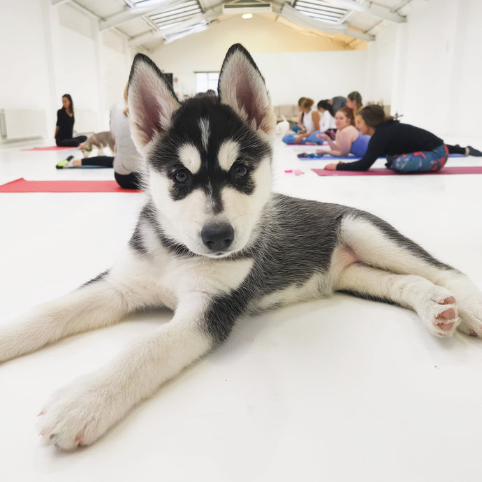 PUPPY YOGA LONDON - MAY 28TH 2021 - AUSTRALIAN LABRADOODLES