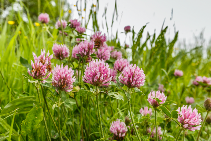 Clover Flower Extract
