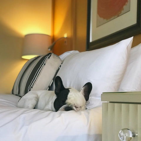 Humphrey sleeping on the bed at Sofitel Los Angeles in Beverly Hills