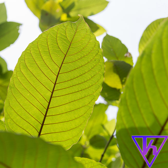 Kratom Uses, Pharmacology, and Risks