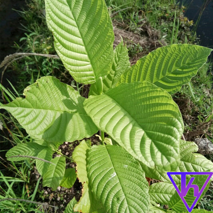 Which Kratom Strain is the Strongest?