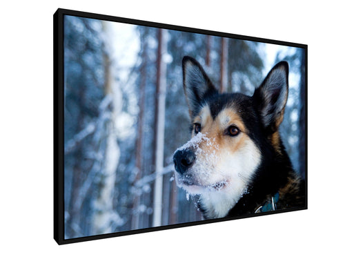 Stretched Canvas Classic - Float Frame - Husky