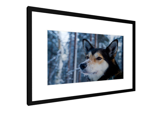 Framed print - Smooth - Husky