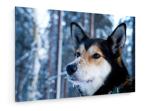 Poly Canvas Print - Husky