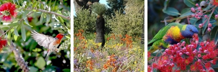 Attracting Australian birds to your garden with native plants