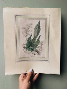Antique Bird Print