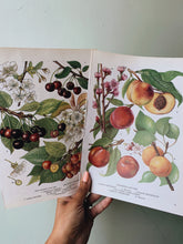 Load image into Gallery viewer, Vintage Peach & Cherry Summer Bookplates