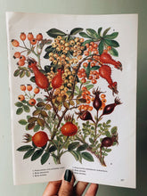 Load image into Gallery viewer, Vintage 1960's Rosa Moyesii Bookplate