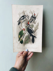 Vintage 18th Century Woodpecker Bookplate