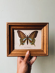 Antique Butterfly Illustration Plate in Frame