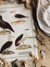 Load image into Gallery viewer, Vintage Albatross Bird Illustration