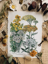 Load image into Gallery viewer, Vintage 1960's Achillea Bookplate